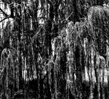 Black and White Weeping Willow Sticker
