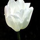 A White Tulip by RickDavis