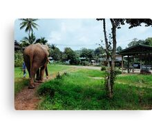 Walking with rescued elephants  Canvas Print