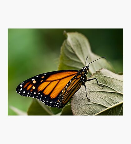 Brand-new monarch Photographic Print