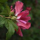Rose of Sharon Profile by Linda  Makiej Photography