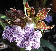 zygopetalum orchid II by Floralynne