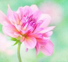 Dahlia Delight by Anita Pollak