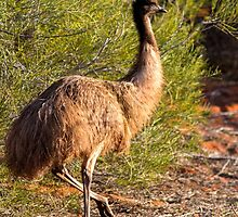 Emu by mncphotography
