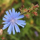 Chicory Flower by Linda  Makiej