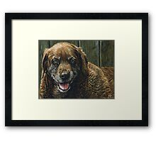 Old Smiling Chocolate Lab, painting Framed Print