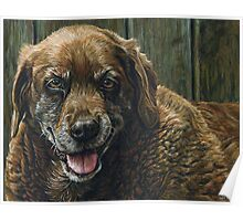 Old Smiling Chocolate Lab, painting Poster