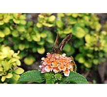 Brown Butterfly Photographic Print