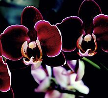 Crushed Velvet Orchid by Michael May