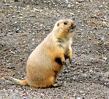 Grubby-nosed Priarie Dog by Graeme  Hyde