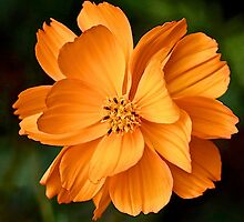 Orange Beauty by John Thurgood