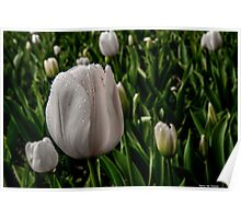 White tulip with raindrops Poster