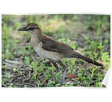 Juvenile Boat-tailed Grackle Poster