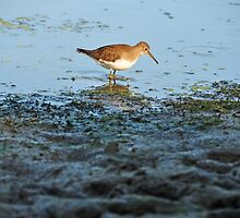 Wood Sandpiper by Poete100