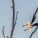 Black-winged kite by ThisMoment