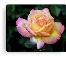 A Delicate Multi Hued Rose Canvas Print