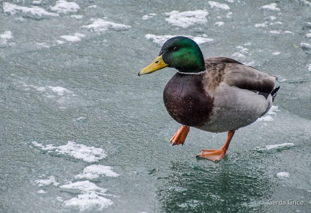 Mallard Drake Carefully Treading on Ice by Gerda Grice