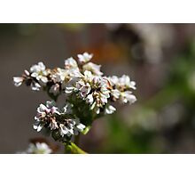 Flowers of a Buckwheat plant (Fagopyrum esculentum) Photographic Print