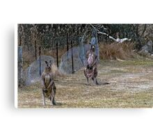 Eastern Grey Kangaroos 2 Canvas Print