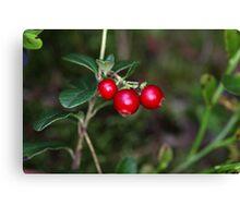 Berries of a wild lingonberry (Vaccinium vitis-idea) Canvas Print