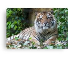 tiger at the zoo Canvas Print