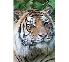 tiger at the zoo Photographic Print