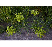 Rock Samphire, Inishmore, Aran Islands Photographic Print