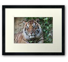 tiger at the zoo Framed Print