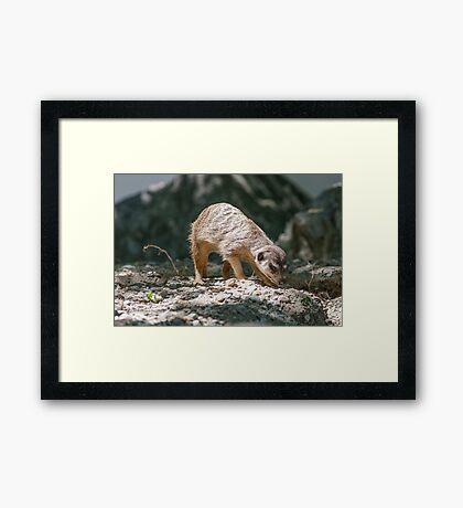 lemur at the zoo Framed Print