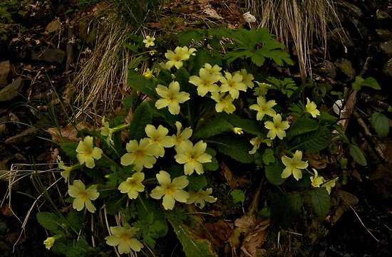 Primrose, Drumlamph Wood, County Derry by George Row
