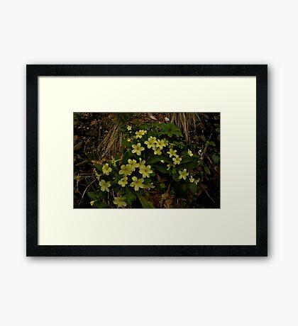 Primrose, Drumlamph Wood, County Derry Framed Print