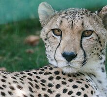 leopard at the zoo by spetenfia