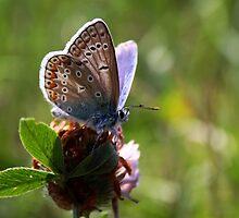 Little Blue Butterfly by Jo Nijenhuis