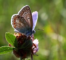 Little Blue Butterfly by Jo Nijenhuis