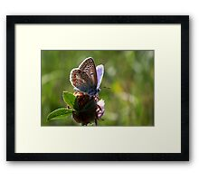 Little Blue Butterfly Framed Print