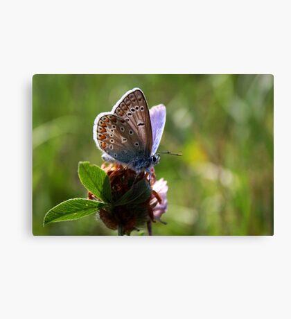 Little Blue Butterfly Canvas Print
