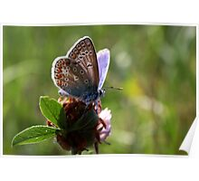 Little Blue Butterfly Poster