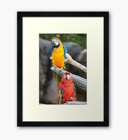 parrot on its perch Framed Print