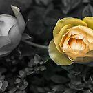 Rose In Yellow by barkeypf