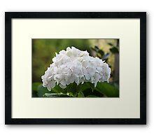 white hydrangea Framed Print