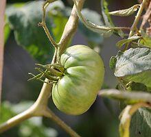 green tomatoes in garden by spetenfia