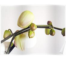 Orchid Buds II Poster