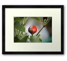 chili in vegetable garden Framed Print