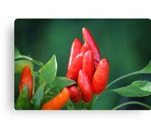 chili in vegetable garden Canvas Print