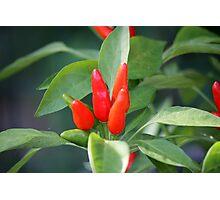 chili in vegetable garden Photographic Print