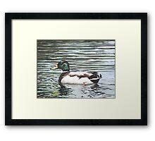Single mallard duck in water Framed Print