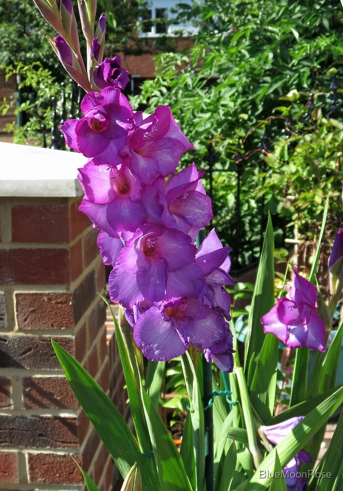 Gorgeous Purple Gladiolus Flower by BlueMoonRose