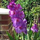 Gorgeous Purple Gladiolus Flower by BlueMoonRose