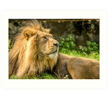 Resting Lion  Art Print