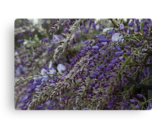 wisteria blooming Canvas Print